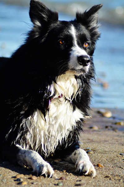 border collie beach